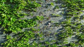 Een klimplantinstallatie op de muur Royalty-vrije Stock Foto's