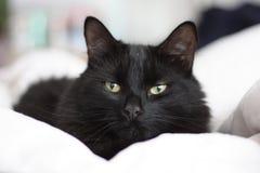 Een knappe langharige zwarte pussy kat Stock Foto
