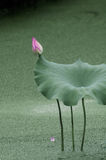 Een knop in lotusbloemvijver Stock Foto