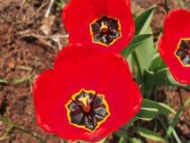 Een knop van een rode tulp Stock Foto