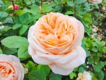 Een knop van nam in de tuin in de zomer zonnige dag toe royalty-vrije stock foto
