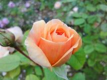 Een knop van nam in de tuin in de zomer zonnige dag toe royalty-vrije stock afbeelding