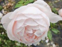 Een knop van nam in de tuin in de zomer zonnige dag toe royalty-vrije stock fotografie
