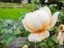 Een knop van nam met spin in de tuin in de zomer zonnige dag toe royalty-vrije stock afbeeldingen