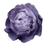 Een knop van purpere tot bloei komende pioenbloem Geïsoleerde bloem op een witte achtergrond met het knippen van weg zonder schad Stock Afbeelding