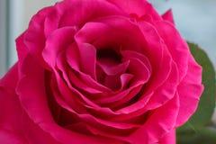 Een knop van tedere roze nam op een vage achtergrond toe stock afbeelding