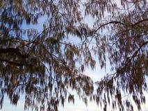 Een knuppelkolonie in een boom in binnenland Australië wordt opgeschort dat Royalty-vrije Stock Foto's