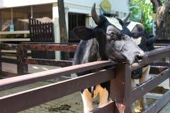 Een koe. Stock Afbeeldingen