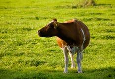 Een koe Stock Foto