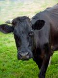 Een koe Stock Foto's