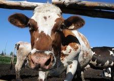 Een koe bevindt zich in een box Stock Afbeeldingen