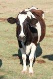 Een koe binnen een groen gebied bij een landbouwbedrijf Royalty-vrije Stock Afbeeldingen