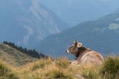 Een koe in de Zwitserse Alpen, met een mooie bergmening in B Stock Afbeeldingen