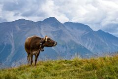 Een koe die in de Zwitserse Alpen, met een mooie bergmening i mooing Royalty-vrije Stock Foto