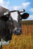 Een koe in een weiland met bewolkte blauwe hemel Royalty-vrije Stock Foto's