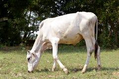 Een koe eet gras op het gebied stock fotografie