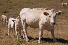 Een koe en een kalf Royalty-vrije Stock Foto
