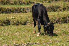 Een koe geniet van etend stock afbeeldingen