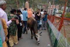 Een koe maakt langzaam het is manier over Lakshman Jhula, reeds toevoegend aan stock fotografie