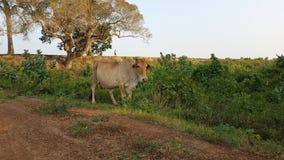 Een koe op de straat in Sri Lanka royalty-vrije stock afbeelding