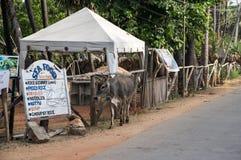 Een koe op de straat van Sri Lanka Royalty-vrije Stock Foto's