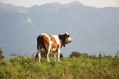 Een koe op een weiland in Zwitserland Stock Foto's