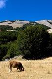 Een koe op het gazon Royalty-vrije Stock Foto's