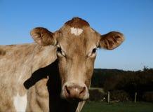 Een koe van Jersey Stock Afbeeldingen