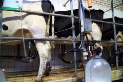 Een koe weegt typisch tussen 500 en 600 kilogram Stock Foto