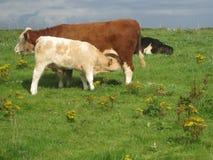 Een koe zuigende melk, in Ierland Royalty-vrije Stock Foto