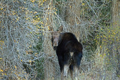 Een Koeamerikaanse eland Stock Foto