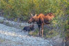 Een koeamerikaanse eland met een kalf in het Nationale Park van Grand Teton wyoming De V.S. royalty-vrije stock fotografie