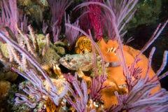 Een Koester-vis van de Rotskabeljauw op de kleurrijke ertsader royalty-vrije stock afbeelding