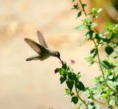 Een kolibrie die stuifmeel verzamelen Royalty-vrije Stock Afbeeldingen