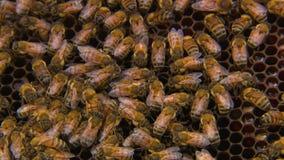 Een kolonie van honingbijen op hun kam stock video