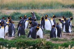 Een kolonie van Koning Penguins die, Aptenodytes-patagonicus, in het gras in Parque Pinguino Rey, Tierra del Fuego Patagonia rust stock afbeelding