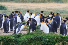Een kolonie van Koning Penguins die, Aptenodytes-patagonicus, in het gras in Parque Pinguino Rey, Tierra del Fuego Patagonia rust royalty-vrije stock foto