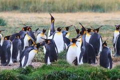 Een kolonie van Koning Penguins die, Aptenodytes-patagonicus, in het gras in Parque Pinguino Rey, Tierra del Fuego Patagonia rust royalty-vrije stock afbeelding