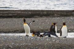 Een kolonie van Koning Penguins die, Aptenodytes-patagonicus, op het strand in Parque Pinguino Rey, Tierra del Fuego Patagonia ru stock afbeeldingen