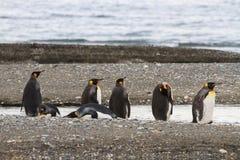 Een kolonie van Koning Penguins die, Aptenodytes-patagonicus, op het strand in Parque Pinguino Rey, Tierra del Fuego Patagonia ru Royalty-vrije Stock Fotografie
