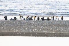 Een kolonie van Koning Penguins die, Aptenodytes-patagonicus, op het strand in Parque Pinguino Rey, Tierra del Fuego Patagonia ru stock fotografie