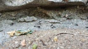 Een kolonie van zwarte mieren die zich snel tegen de achtergrond van geheime voorgeheugens in de rots bewegen waar zij leven stock video