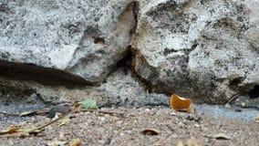 Een kolonie van zwarte mieren die zich snel tegen de achtergrond van geheime voorgeheugens in de rots bewegen waar zij leven stock videobeelden