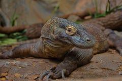 Een Komodo Dragon Up-Close Stock Fotografie