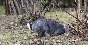 Een konijn graaft een gat stock fotografie