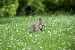 Een konijn onder de madeliefjes royalty-vrije stock afbeeldingen