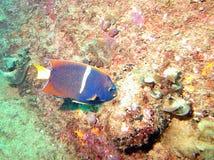 Een Koning Angelfish van Cabo San Lucas, Mexico royalty-vrije stock afbeelding