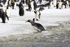 Een koning Penguin probeert om aan wal van de sneeuwbrij op de Vlakte van Salisbury op Zuid-Georgië te worden royalty-vrije stock fotografie