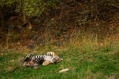 Een koninklijke mannelijke tijger van Bengalen met verschillende yogahoudingen en uitdrukkingen op een groen gras bij ranthambore stock foto's