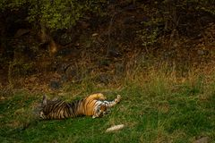 Een koninklijke mannelijke tijger van Bengalen met verschillende yogahoudingen en uitdrukkingen op een groen gras bij ranthambore stock afbeeldingen